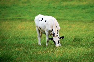 La dieta de la vaca
